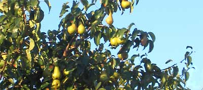 photo of pears on a tree